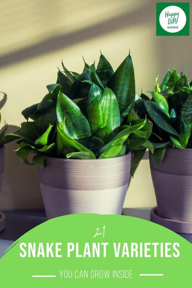 Snake Plant Varieties 2