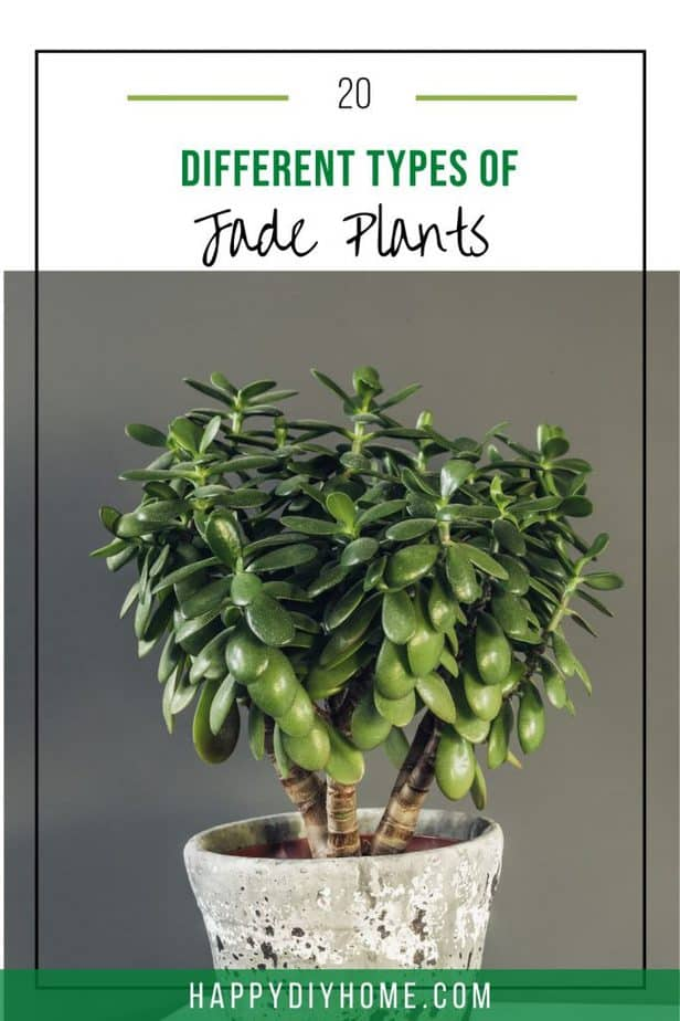Types of Jade Plants 1
