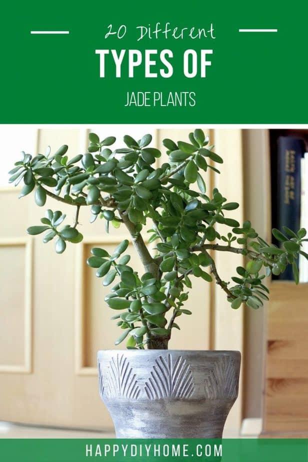 Types of Jade Plants 2