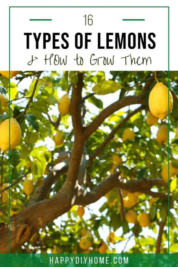 Types of Lemons 1