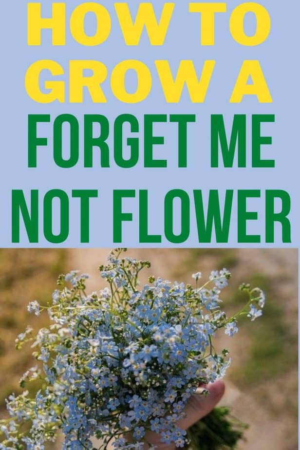 0 how to grow a forget me not flower