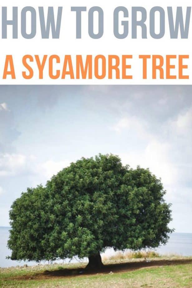 0 sycamore tree