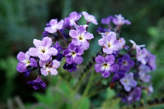1 Heliotrope an old fashioned favorite