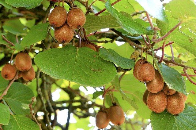 1 Kiwi is a warm weather plant