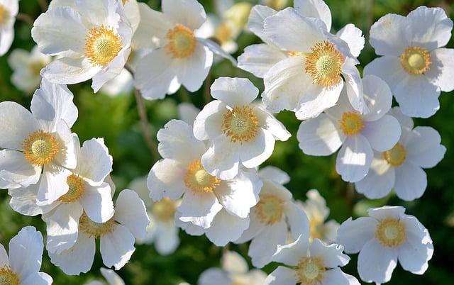 1 White Anemones