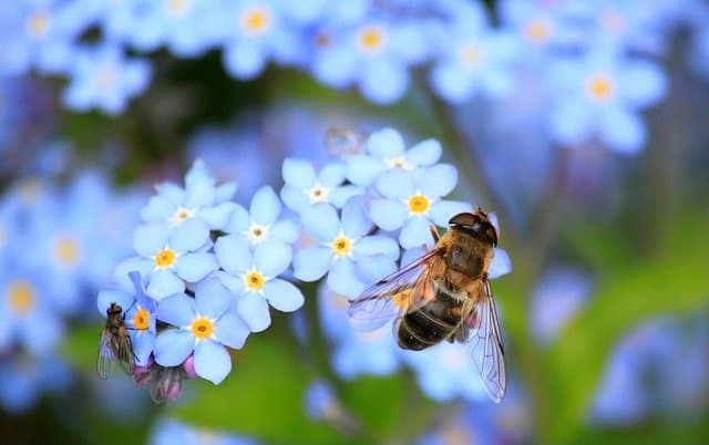 1 forget me not spring