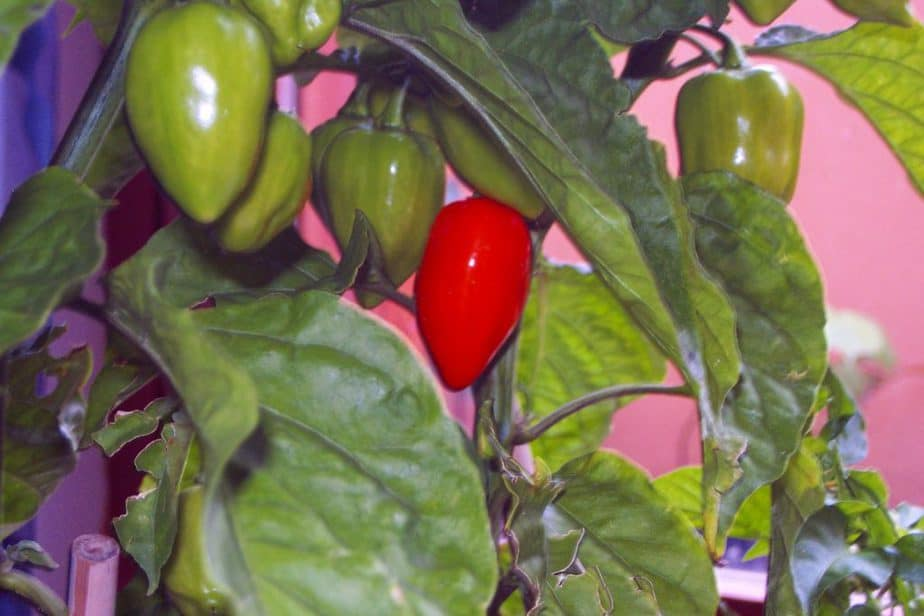1. The habanero Red Savina the hottest of all the habanero peppers