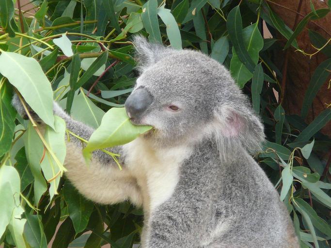 10. koala