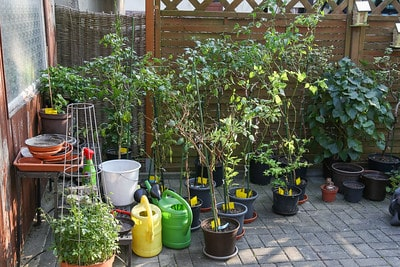 19. These pepper plants were overwintered pulled out after the last