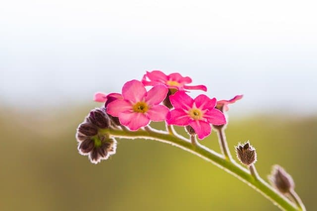 2 forget me not pink