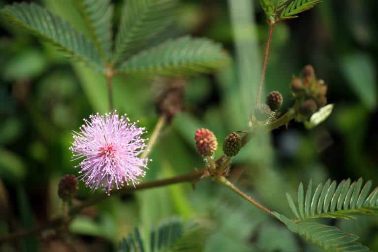 2. Mimosa pudica