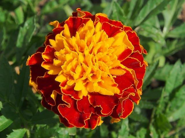3 Different varieties of marigolds
