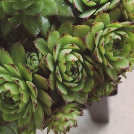 3 Indoor Succulents Sempervivum