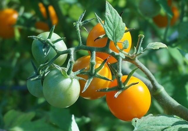 3 Orange Cherry Tomatoes