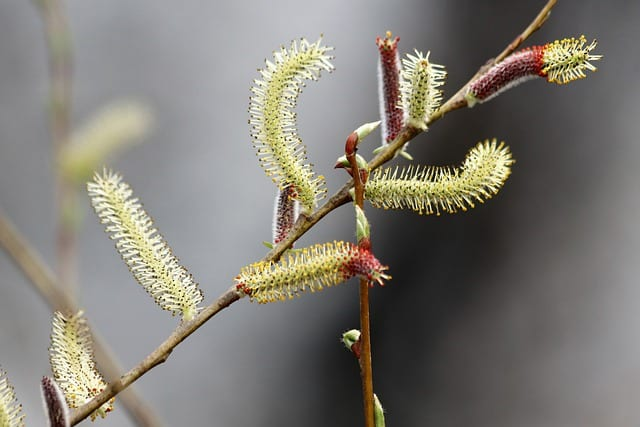 3 The distinctive goat willow variety