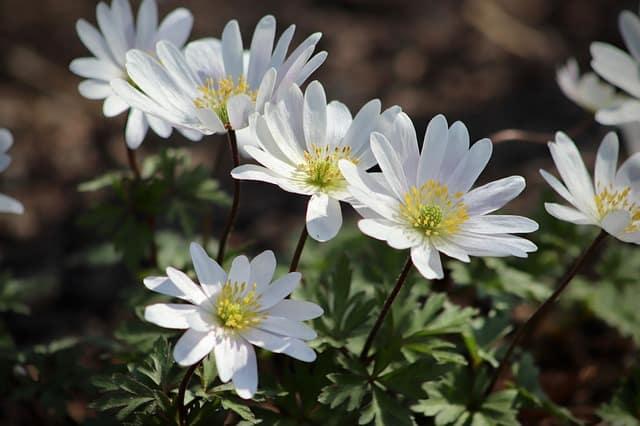 3 White Daisy Like Anemones