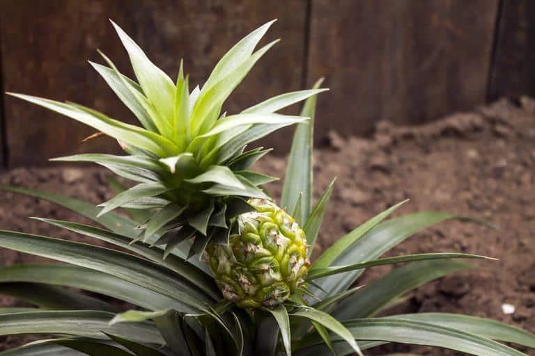 3. pineapple plant