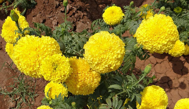 4 Marigolds grow in many conditions