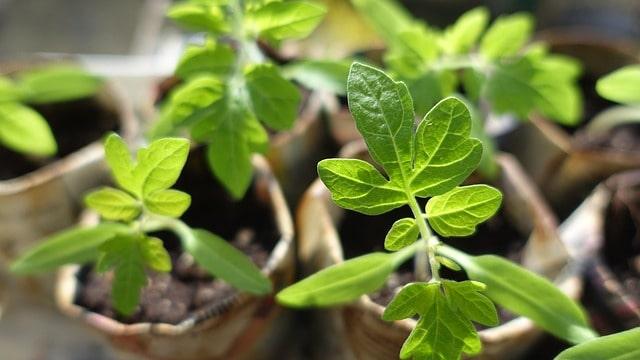 4 Tomato Seedlings