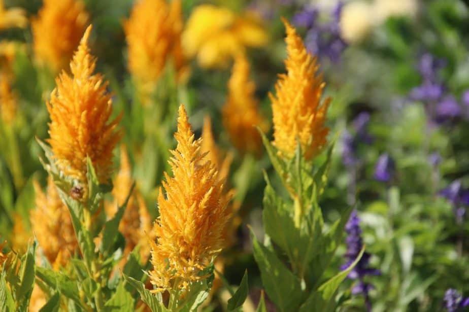 4 Yellow Celosia