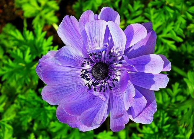 5 Blue Anemone