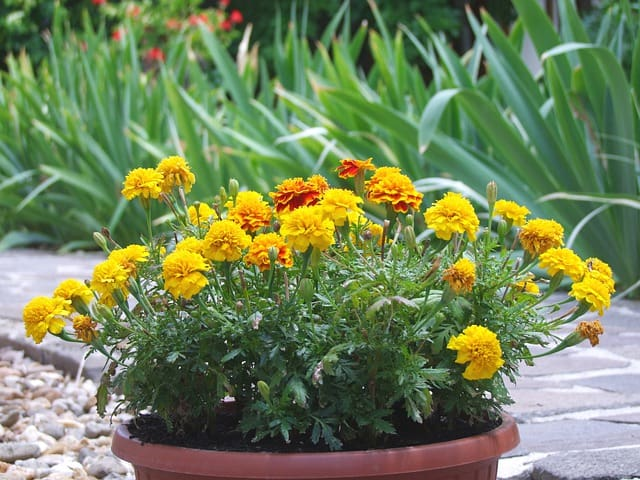 5 Marigolds are easy to care for