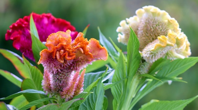 CELOSIA ARGENTEA great indoor or outdoor flower,easy to care//grow multi colour