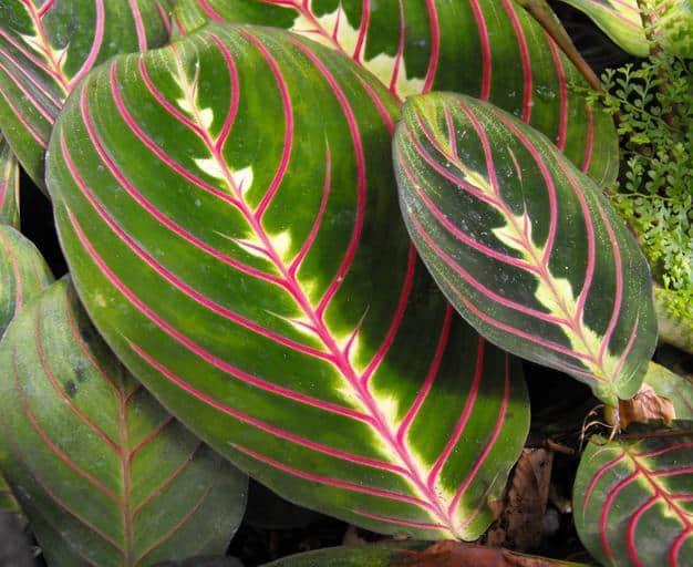 5. prayer plant