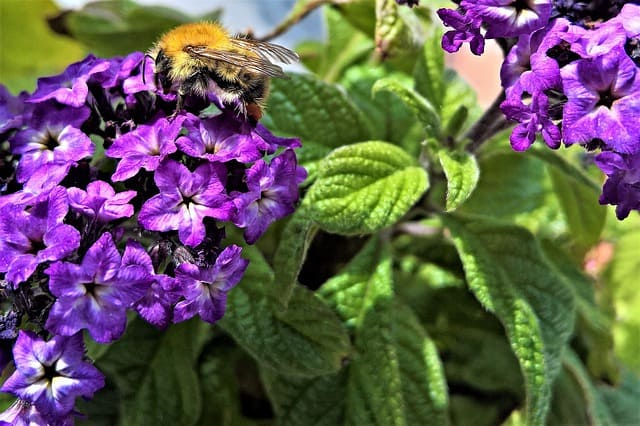 6 A popular plant for pollinators