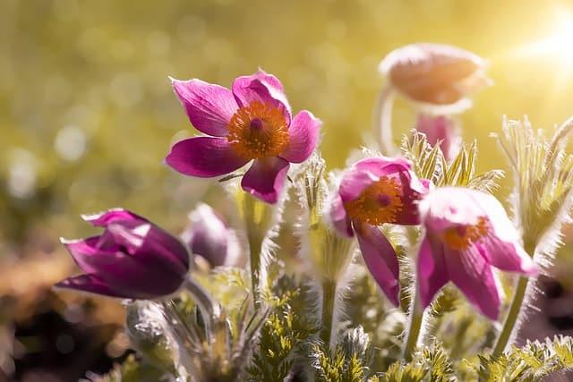 6 Anemones Opening in Spring