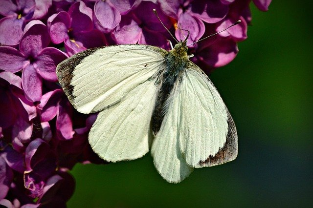 6 Cabbage white can destroy crops