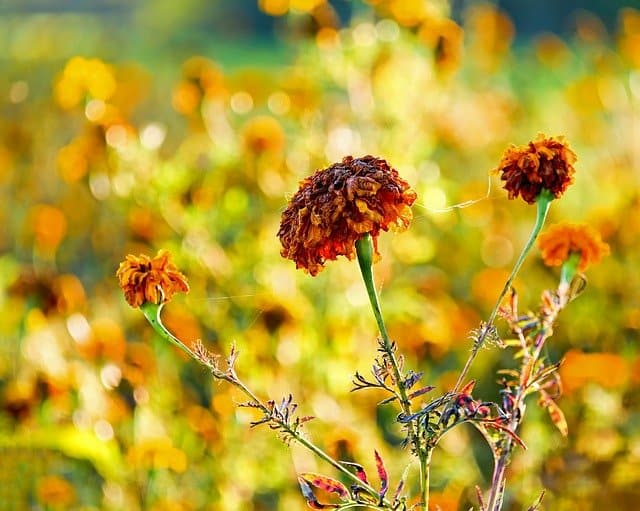 6 Deadheading encourages more flowers