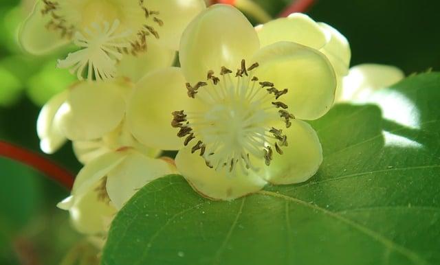 6 Hand pollinate kiwi flowers