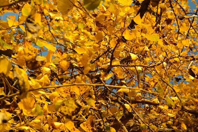 6 Poplar tree brings color to garden