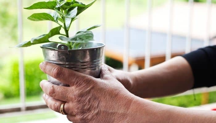 6. After they have sprouted move your pepper plants to a window sill