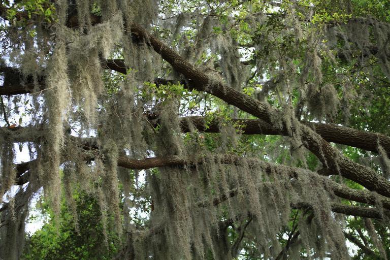 6. spanish moss on a tree