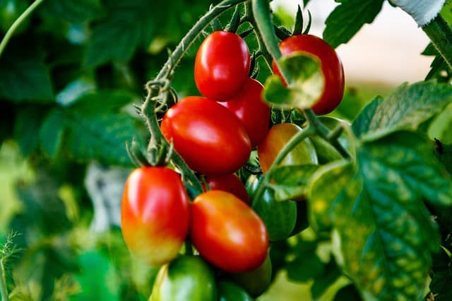 7 Grape Tomato Plant
