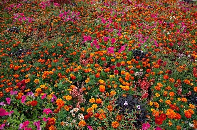 7 Marigolds are popular companion plants