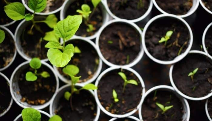 7. If you planted two or three seeds per container