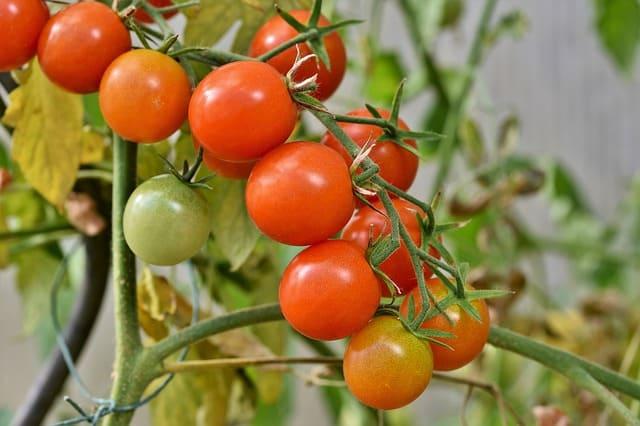 8 Cherry Tomato Plant