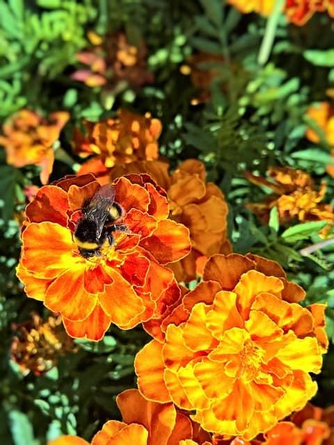 8 Marigolds attract pollinators
