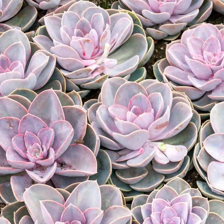 8 Outdoor Succulent Ghost Plant