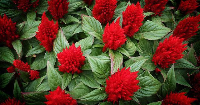 8 Red Celosia