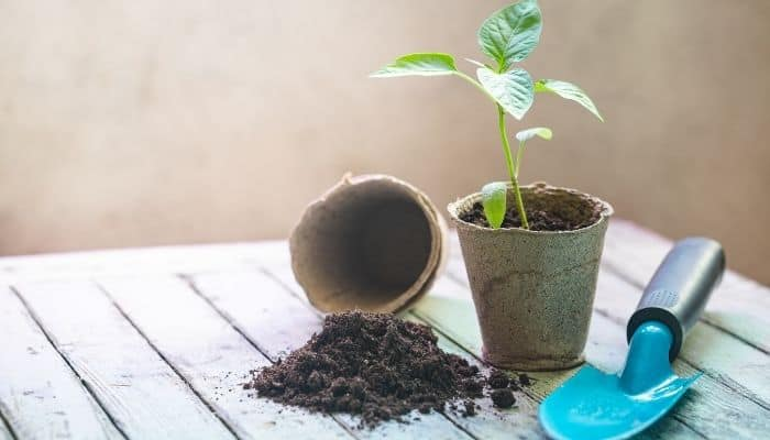 8. When seedlings are about this size they can be moved