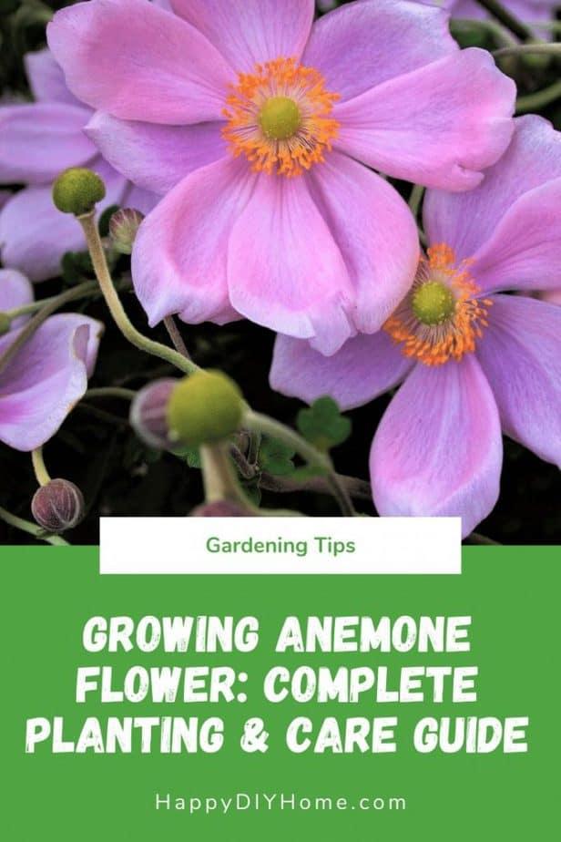 Growing Anemone Flower