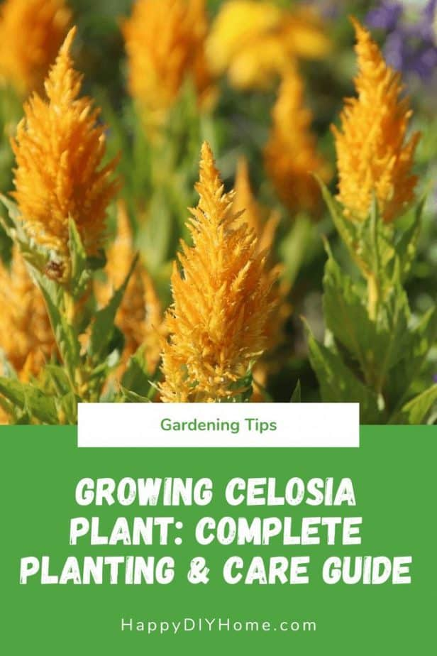 Growing Celosia Plant
