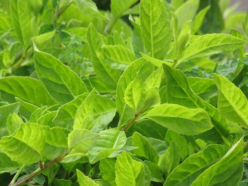 Longevity spinach vining plant