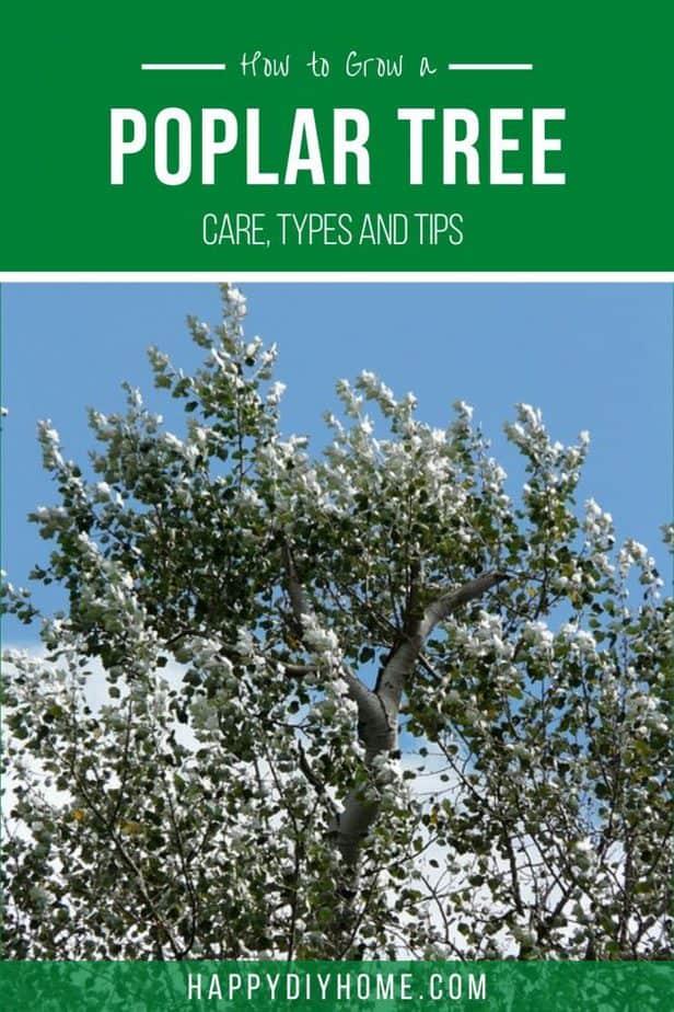 Poplar Tree 2