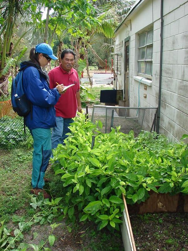 growing Longevity spinach in pots