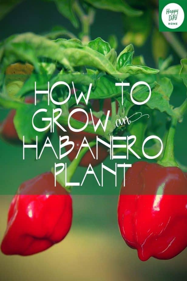 habanero plant 2